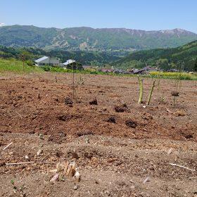 柄沢ゲレンデのアスパラガス畑