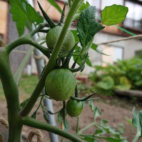 生り始めたトマト