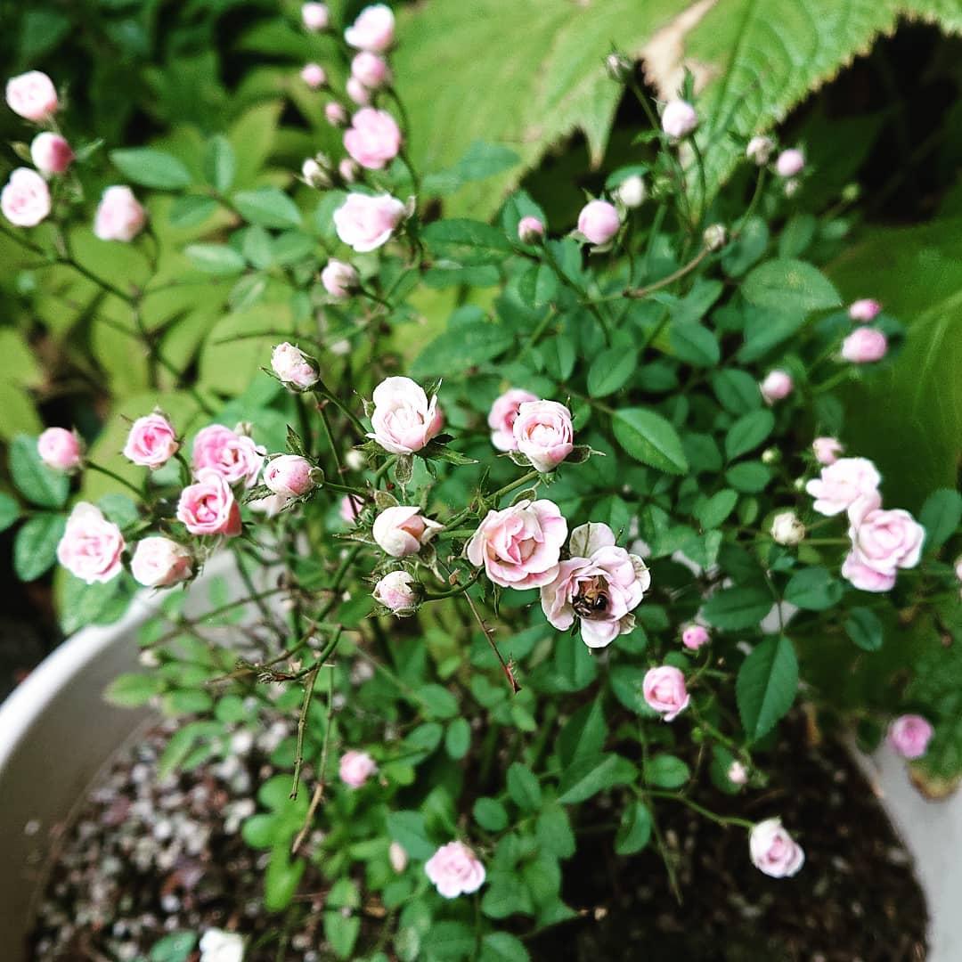6月に大事な葉っぱを虫に全部食べられてしまい、途中からみんな切り落としてしまっていたミニばら今、こんなにキレイでかわいい花をたくさん付けています2ヶ月で見事に再生して花まで咲かせてくれるとは植物の力は凄いなー🥰#野沢温泉 #民宿 #野沢温泉の宿 #野沢温泉スキー場 #山菜 #源六  #げんろく #ミニばら #Nozawaonsen#nozawa (Instagram)