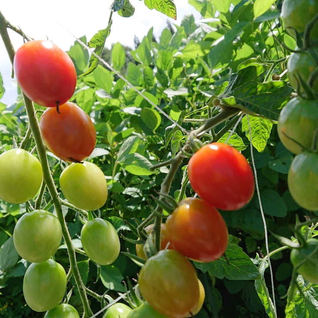 今日も暑いトマトは元気でキレイなグラデーションになっていま〜すまだしばらくは楽しめそうです#野沢温泉 #民宿 #野沢温泉の宿 #野沢温泉スキー場 #山菜  #源六  #げんろく#夏野菜 #Nozawaonsen#nozawa (Instagram)